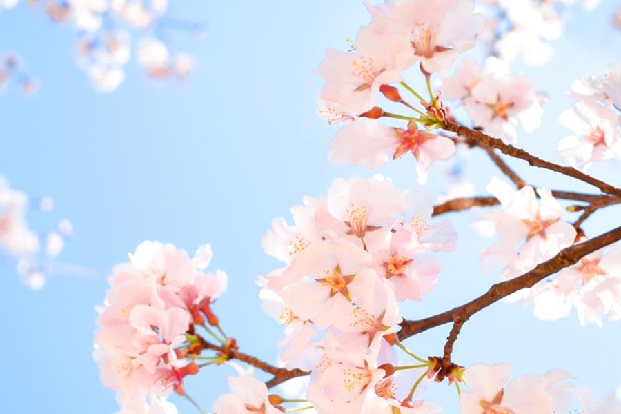 桜前線 開花日・満開日